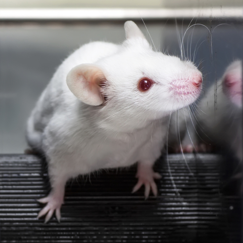 Mouse Study Reveals Blocking Receptor in the Brain's Immune Cells Reverses Alzheimer's
