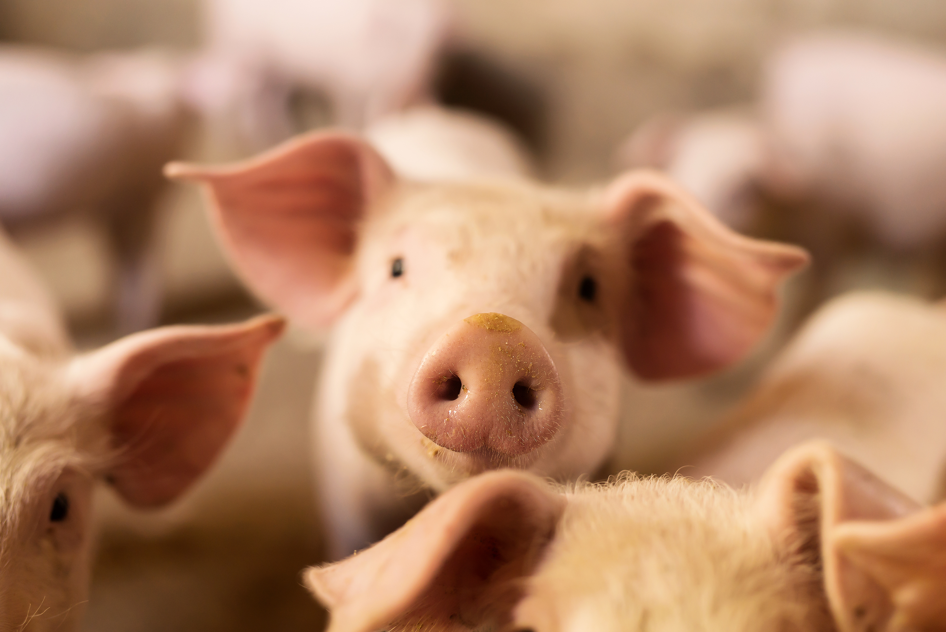 NIH Awards Recombinetics a Research Grant to Develop Swine Model of Alzheimer's